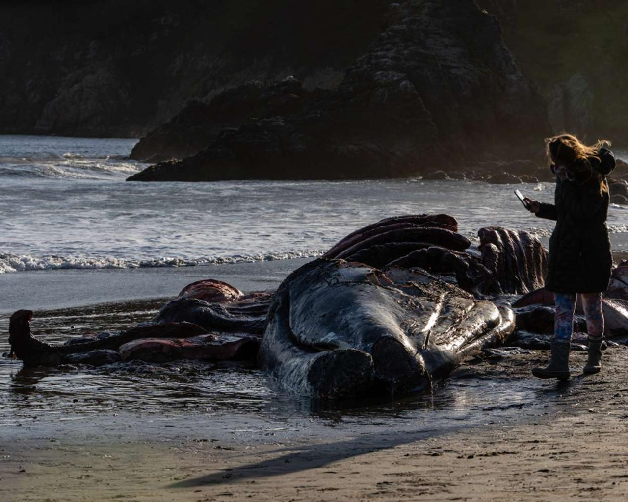 In the span of eight days, four grey whales have been discovered dead in the Bay Area of California.